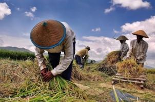 Mengandalkan Beras Petani