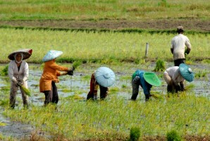 Minimalisir Kerugian Gagal Panen Gadu, Dinas Pertanian Imbau Petani Lampura Ikuti Program AUTP