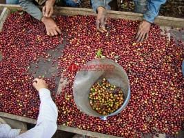 Minyak Nabati dan Kopi Turunkan Nilai Ekspor Lampung