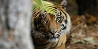 Misteri Pawang Harimau