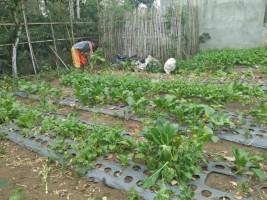 Musim Kemarau, Harga Sayuran di Lambar Anjlok