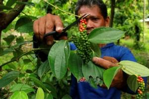 Mutil Lado, Kearifan Lokal Lampung