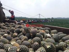 Nanas Lampung Kuasai Pasar Dunia