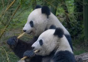 Panda Albino Langka