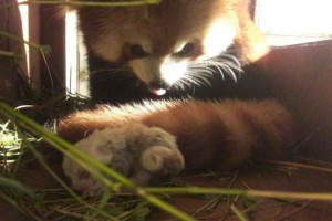 Panda Merah PertamaIndonesia Lahir di Bogor