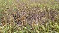 Panen Petani di Hadimulyo Barat Diperkirakan Anjlok Drastis Hingga 50 Persen