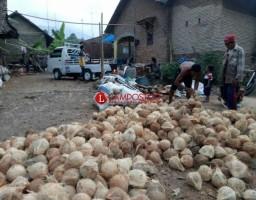 Pasokan Melimpah, Harga Kelapa di Penengahan Anjlok