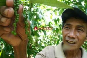 Pemprov Dorong Hilirisasi Lada di Lampung
