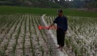Pemprov Targetkan 20 Ribu Hektare Sawah Ikut AUTP