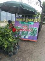 Penjual Bibit Jambu Air Marak di Jalinsum Kotabumi