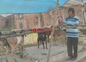 Penjual Hewan Kurban Mulai Marak di Kotabumi