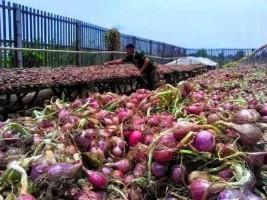 Penyaluran Bantuan Bibit Bawang Merah di Pesisir Barat Diduga Bermasalah