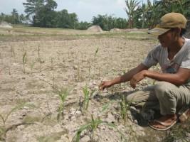 Petani di Desa Bumidaya KeluhkanSerangan Hama Ulat Grayak