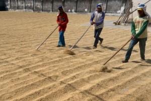 Petani di Lamsel Diimbau Tunda Jual Gabah