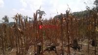 Petani Jagung Lampura Keluhkan Anjloknya Harga Saat Panen Raya