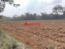 Petani Singkomg di Lampura Harapkan Hujan Turun