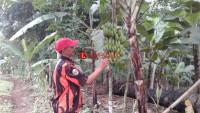 Pisang Cavendish Menjadi Produk Unggulan Desa Batu Nangkop