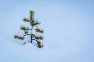 Pohon Cemara Berusia Ribuan Tahun