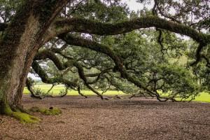 Pohon Tertua