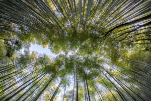 Pohon Tropis Tertinggi di Dunia