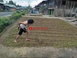 Produksi Kopi Lampung Diprediksi Meningkat 50 Persen di 2019