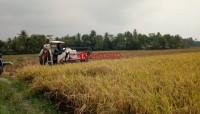 Produksi Padi di Palas Merosot Hingga 2 Ton Per Hektare