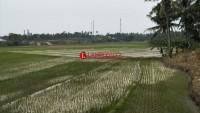 Ratusan Hektare Tanaman Padi di Ketapang Terancam PusoAkibat Kemarau