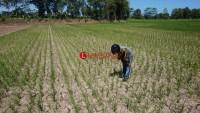 Ribuan Hektare Tanaman Padi di Candipuro Terancam Kekeringan