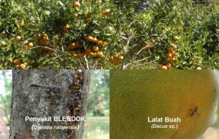 Rontok Buah Ancam Petani Jeruk di Lampura