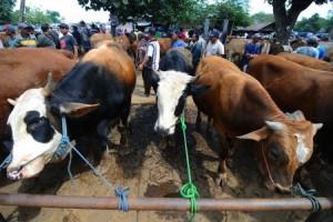 Sapi dan Kambing Yang Dikurbankan Dalam Perayaan Iduladha di Lamtim 8.605 Ekor