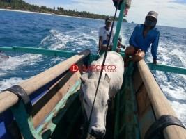 Sapi pun Ikut Naik Perahu di Pulau Pisang