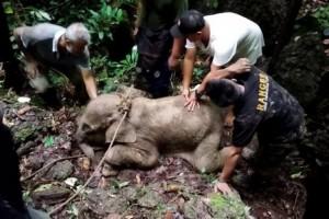 Seekor Anak Gajah Ditemukan Terjerat di Aceh Timur