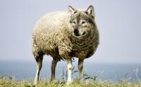 Srigala Berbulu Domba