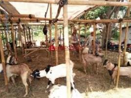 Stok Hewan Ternak di Lamtim Mencukupi untuk Kurban