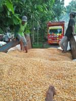 Stok Menipis, Harga Jagung di Ketapang Malah Turun