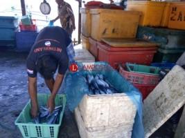 Stok Menipis, Pesisir Barat Datangkan Ikan dari Luar Kabupaten