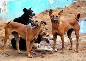 Sweeping Anjing Liar di Lampura Sasar 3 Desa