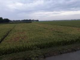 Tanaman Padi Di Desa Banjarrejo, Kecamatan Batanghari di Serang Hama Wereng