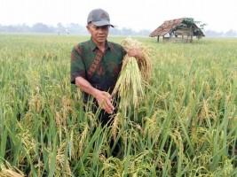 Tanaman Padi Petani Diserang Jamur Penyebab PatahLeher