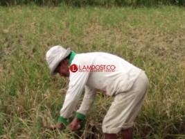 Tanaman Padi Puso Sisa Hama Tikus Dimanfaatkan Petani untuk Pakan Ternak