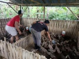 Tiga Kelompok Peternakdi Palas Dapat Bantuan Bebek