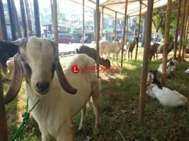 Tim Keswan Cek Kesehatan Hewan Kurban di 3 Kecamatan
