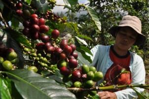 Tingkatkan Produksi, 400 Ha Kebun Kopi di Lambar Tahun Ini Diremajakan