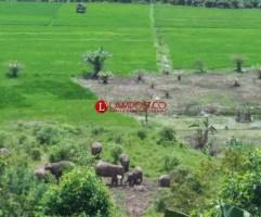 Tunggu Restu KSDAE, Balai TNWK Siap Bantu Persoalan Gajah di Suoh