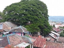Warga Sekitar Pohon Ambon Berharap Ada Pemangkasan