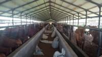 Warga Sukamulya Keluhkan Ribuan Lalat dari Peternakan Sapi