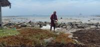 Warga Tarahan Manfaatkan Pantai Tanjung Selaki untuk Mencari Rumput Laut