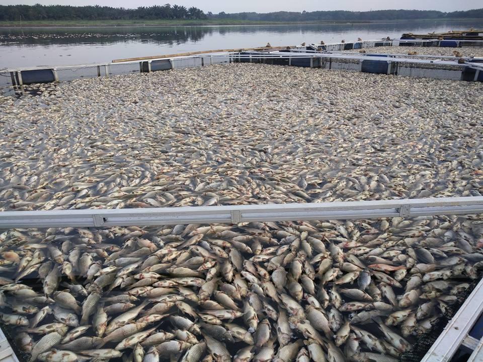 LAMPUNG POST | Bupati Tanggapi Kematian Ratusan Ton Ikan Mas di Wayrarem
