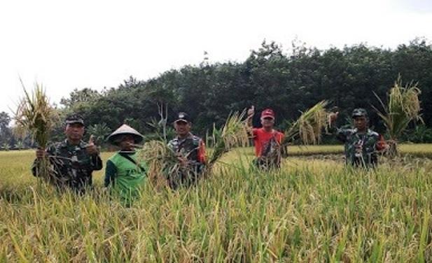 Anggota Koramil 412-06/SungkaiUtaradan Persit Panen Padi Bersama Kelompok Tani Sirih Jaya