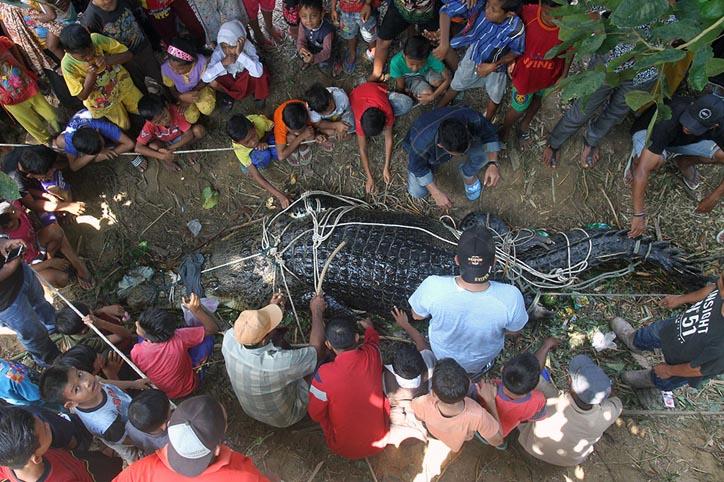 LAMPUNG POST   Warga Aceh Timur Tangkap Buaya Seberat 600 Kilogram